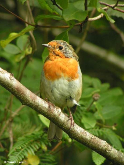 nichoir pour oiseaux Rougegorge